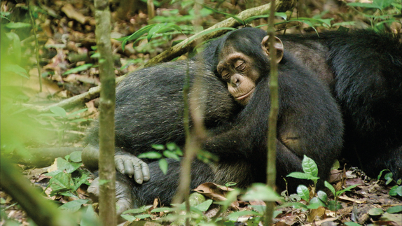 A chimp hugs his mother.