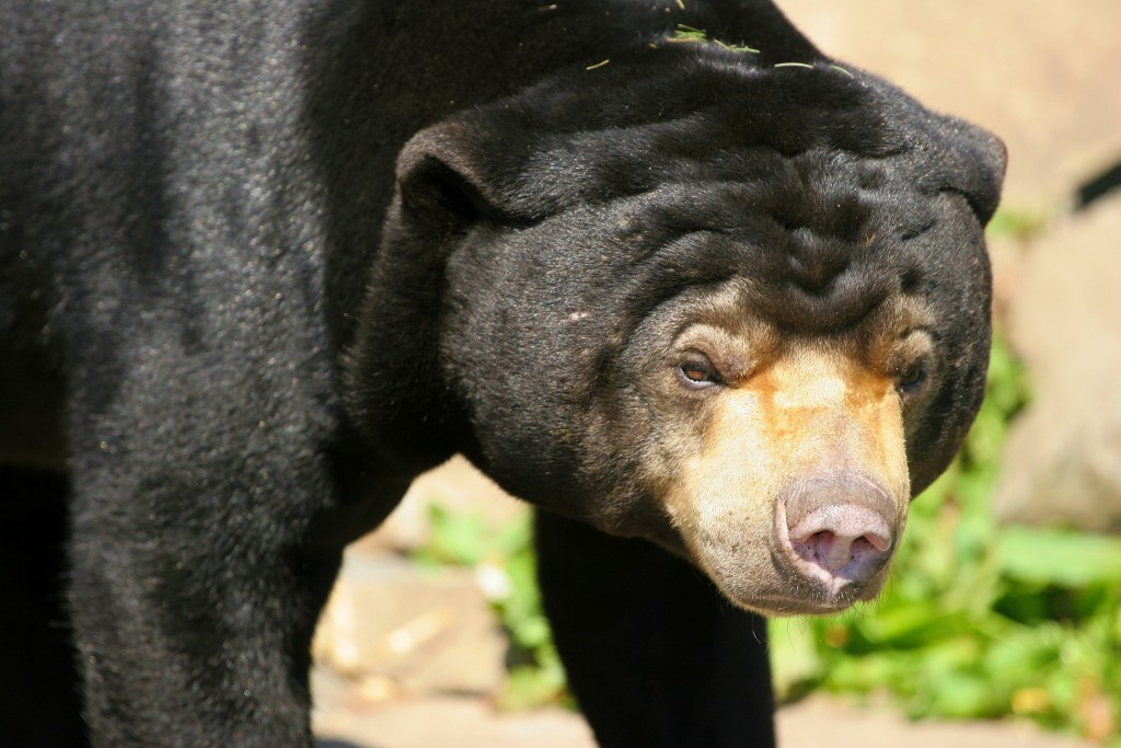 Black-Bear-Toronto