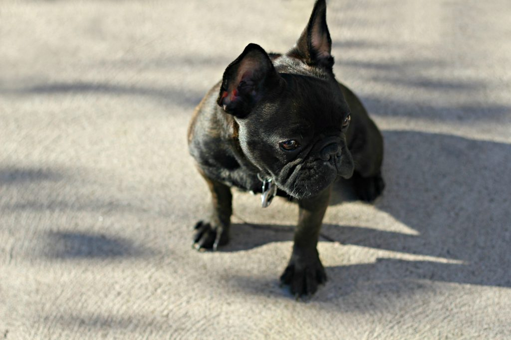 Why French Bulldogs Are The Perfect Breed For Our Family