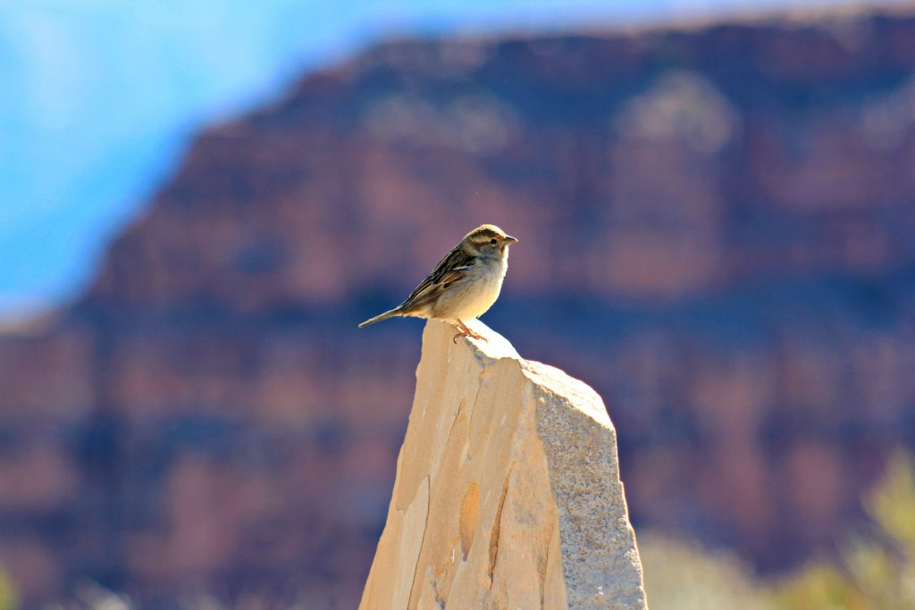 The Grand Canyon is pictured in the background but, a rock and a little bird are in the focus.
