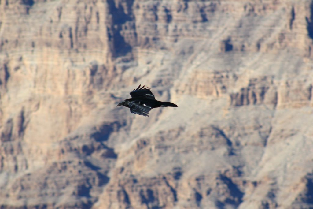 A bird of prey expands his wings in the Grand Canyon.