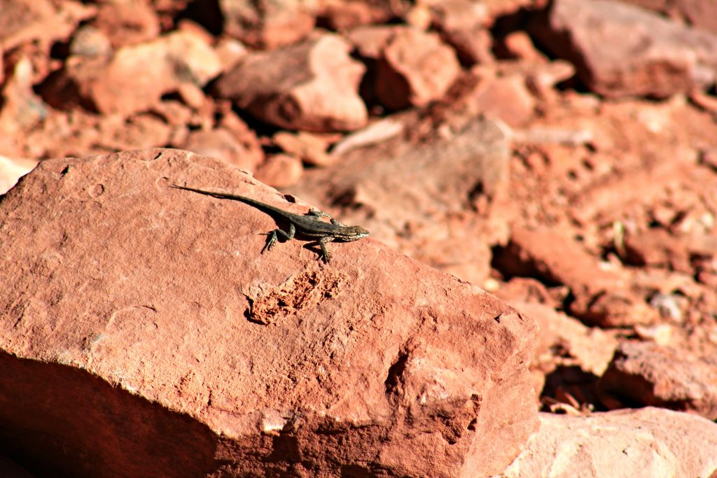 The red rocks of the Grand Canyon shows a little lizard laying soaking in the rays.