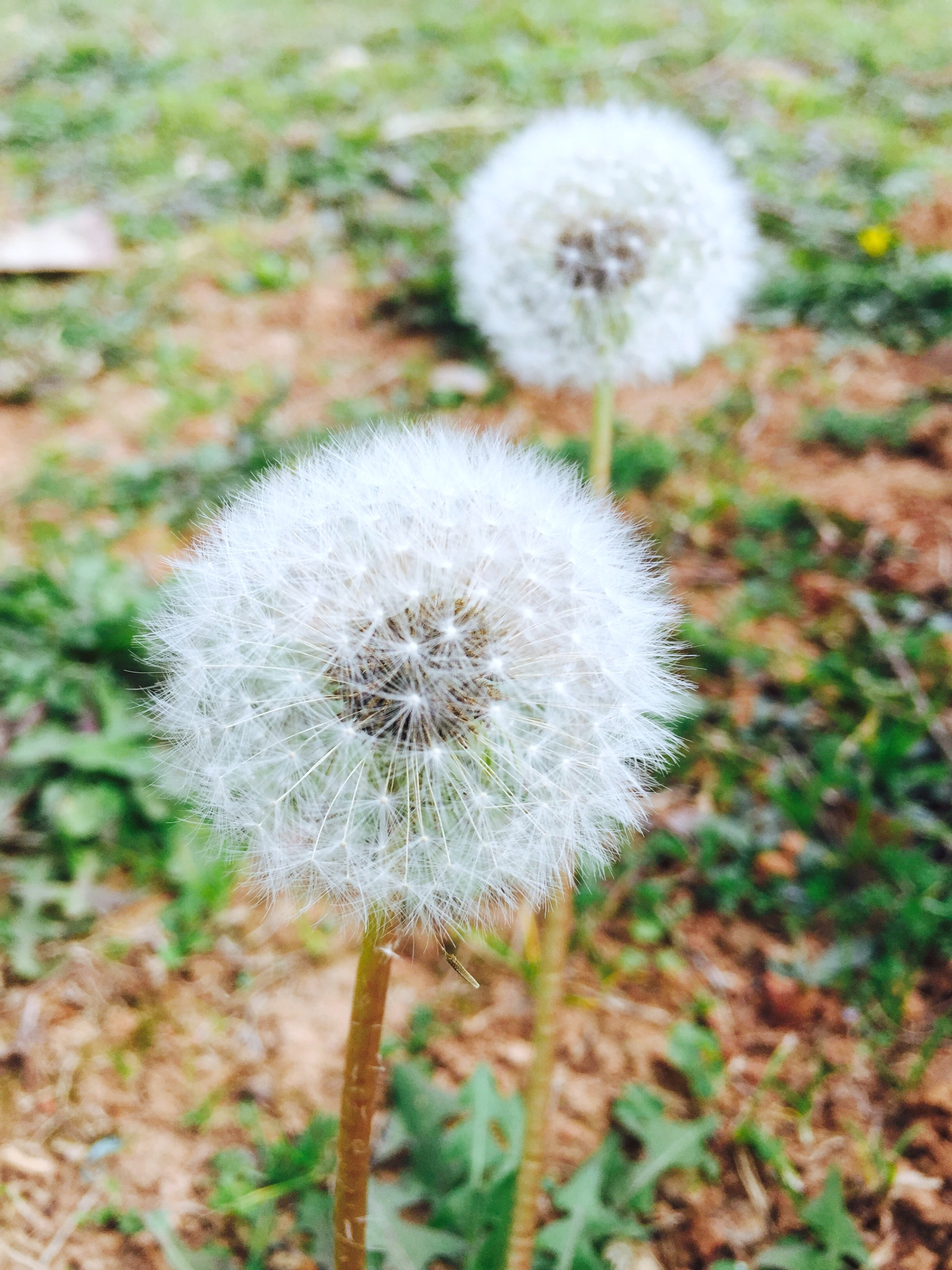 A lawn with dandelion weeds. Here are ways to control pesky weeds.