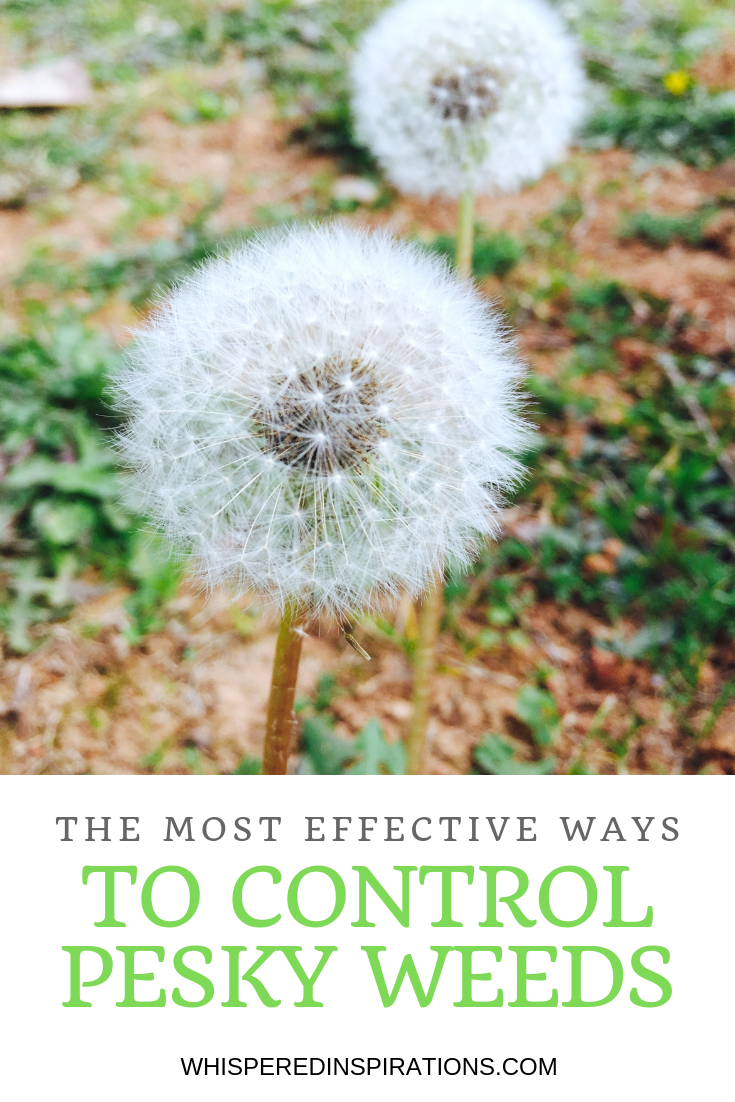 "A picture of a lawn with dandelion weeds. A banner below it reads, ""the most effective ways to control pesky weeds."""