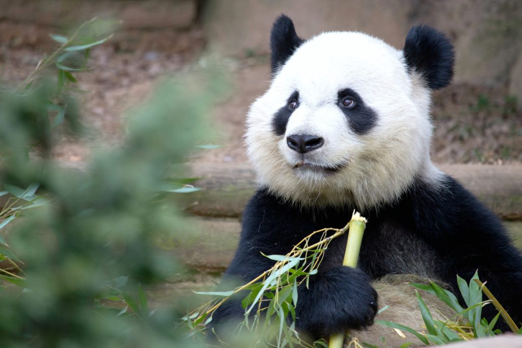 A panda eating bamboo at the Atlanta Zoo.