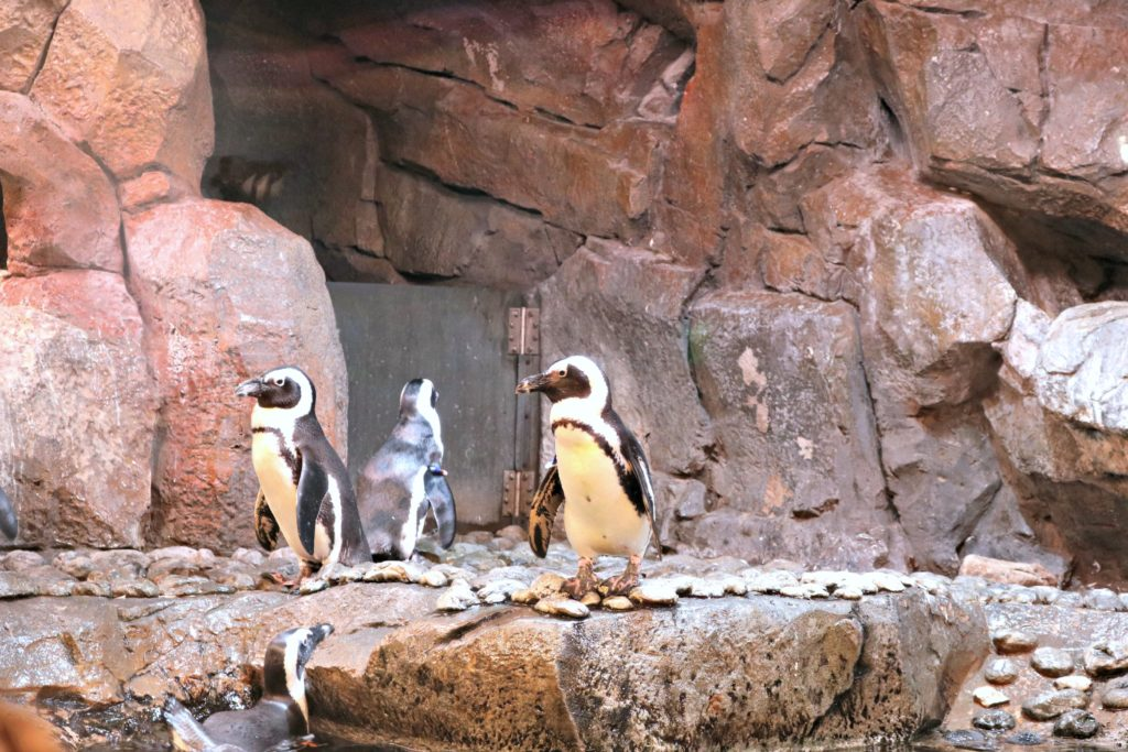 A group of penguins stand on the rocks in their exhibit at the Georgia Aquarium.