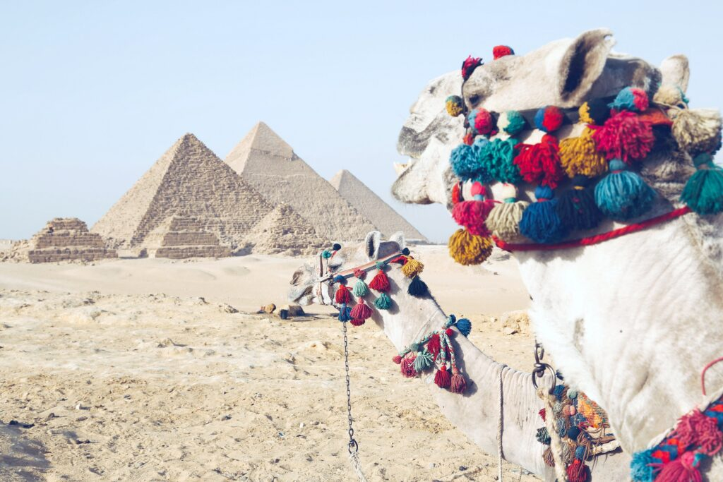 Camels in front of the pyramids of Giza.