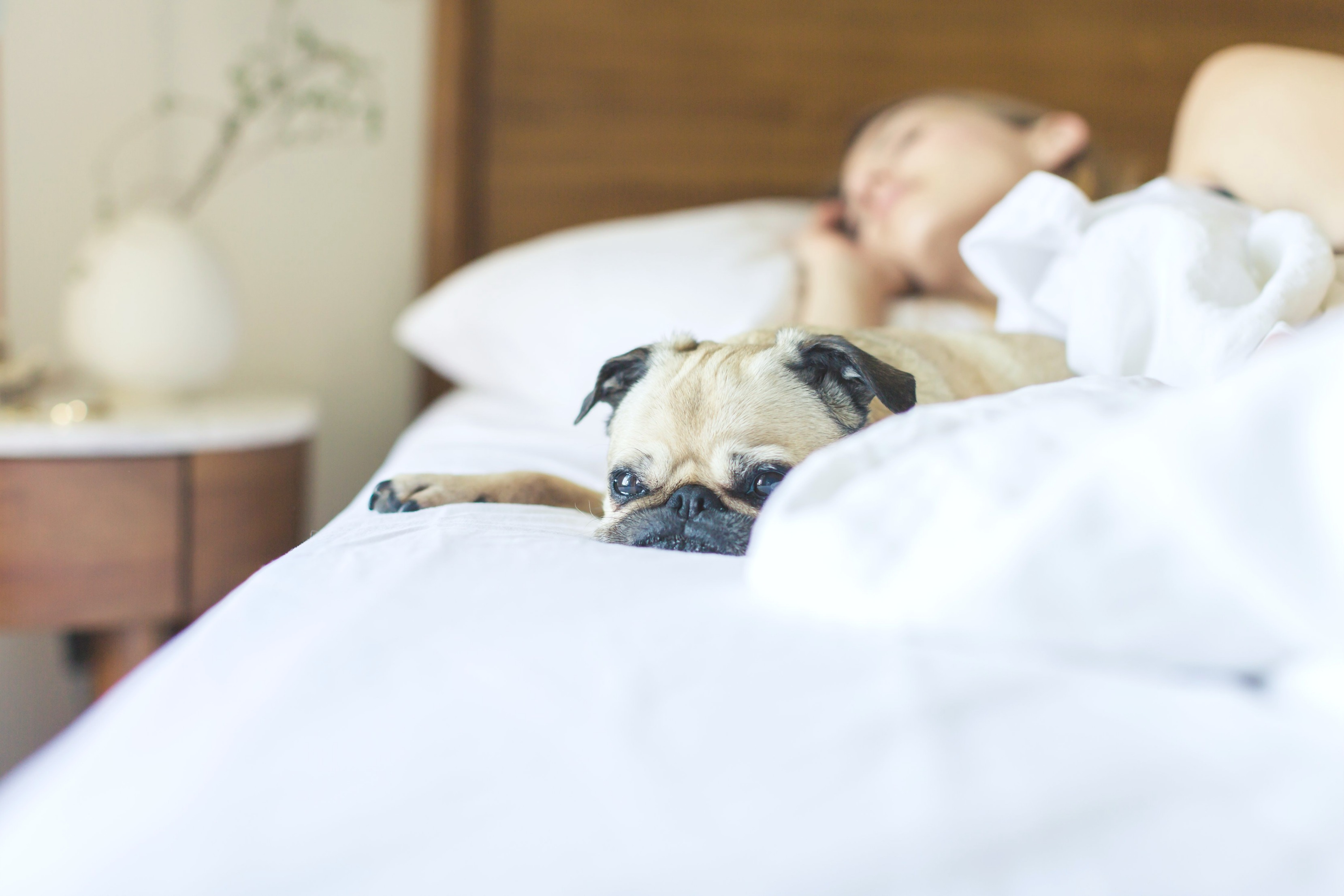 Woman sleeps soundly with her pug on the bed with her.