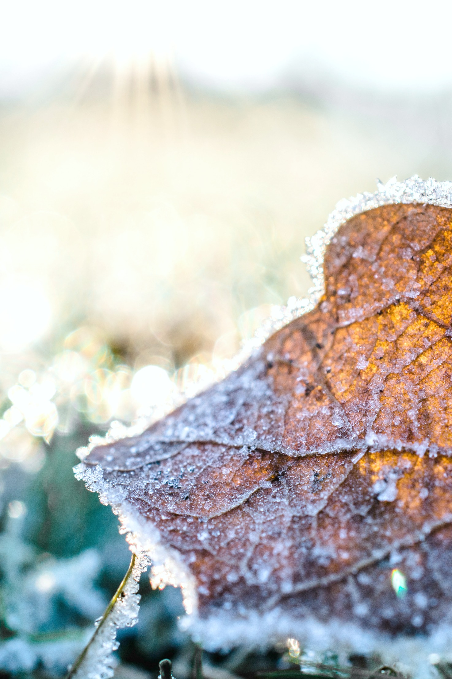 A browned leaf on the ground, there is frost covering it and the grass surrounding it.