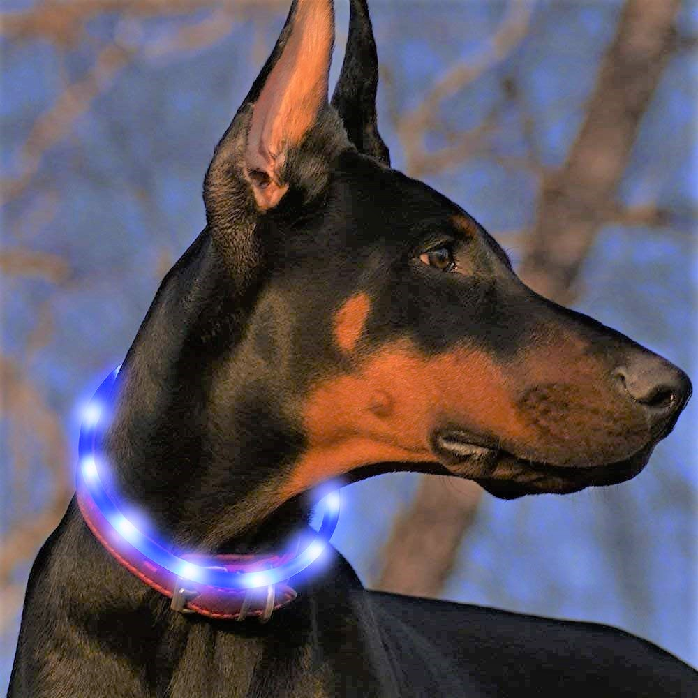 A doberman is shown wearing a glowing collar.