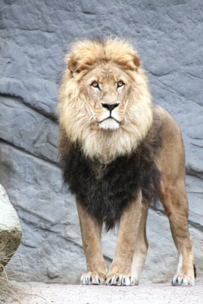 A beautiful lion in a zoo.
