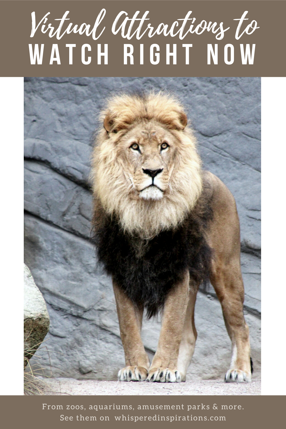 """A beautiful lion in a zoo. A banner above reads, """"Virtual Attractions to Watch Right Now."""""""