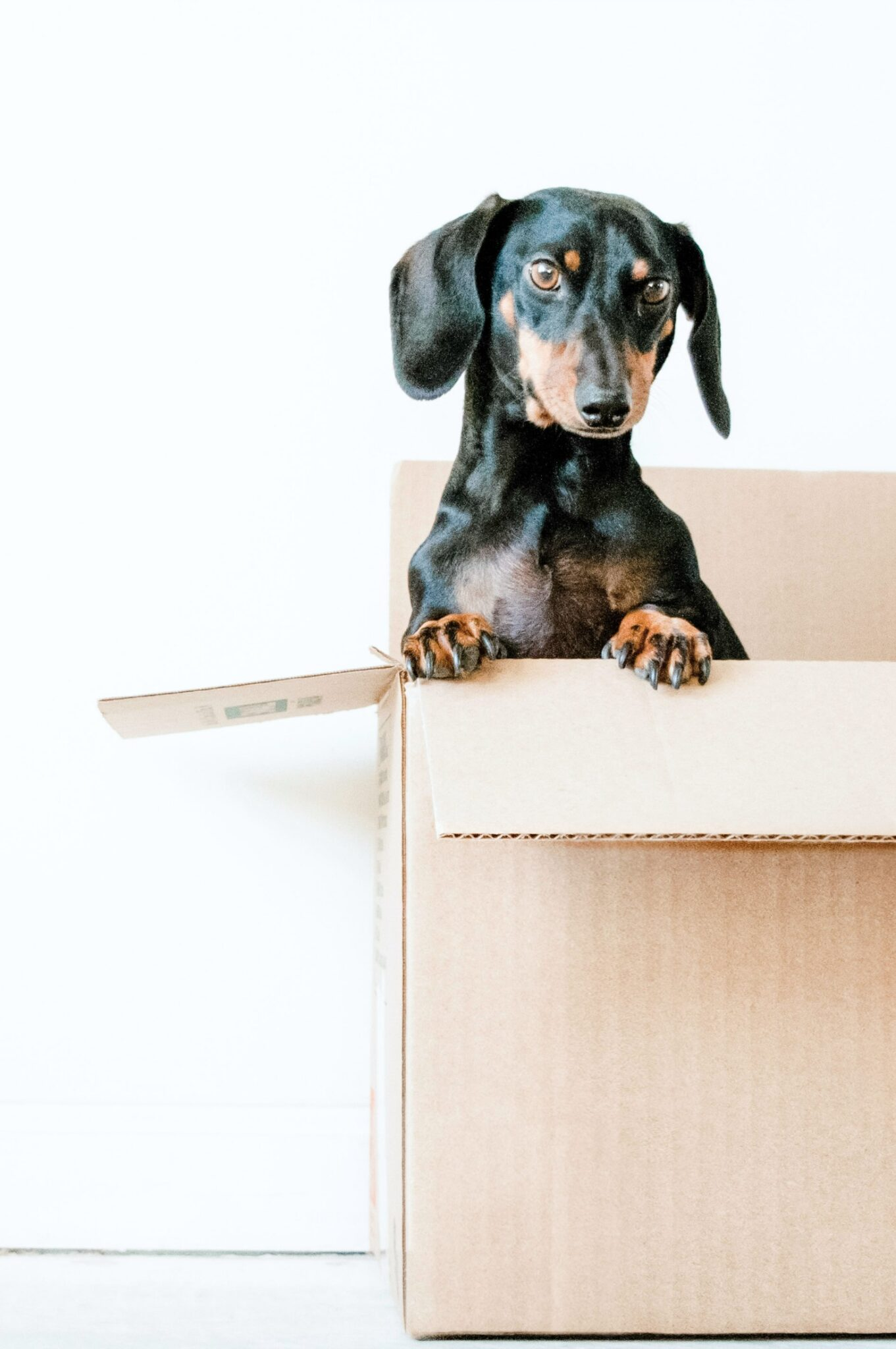 Dog sitting in a box while his owners plan on moving out.