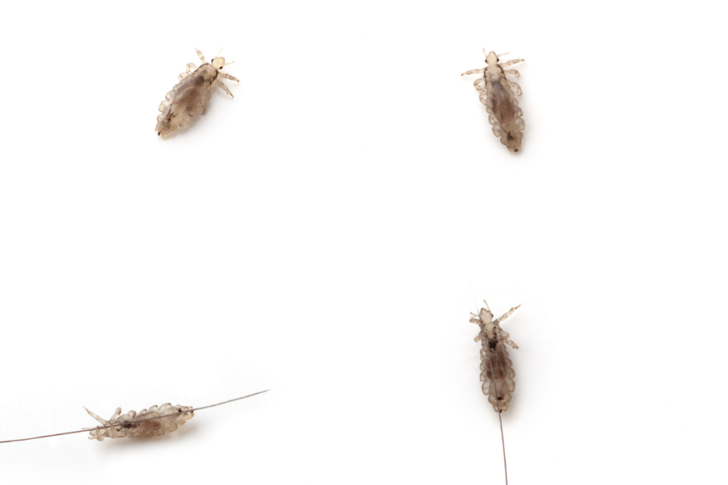 A close up of head lice on hair strands. There are 4 shown.
