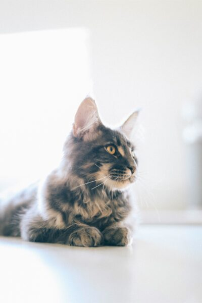 A beautiful cat sits on a bed taking in the sun. This article covers tips for keeping your cat safe this summer.