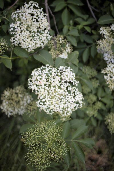 An elderflower plant is pictured, this is where you will find elderberry. This article covers elderberry benefits and how they improve your health.