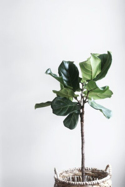 A beautiful fig tree is shown against a light grey wall. This article covers the top things that are necessary for a sustainable life.